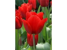 Fiep Westendorp tulpenbollen nu verkrijgbaar